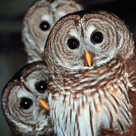 A wisdom of owls �not a