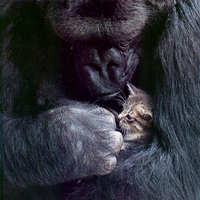 koko the gorilla - photo #2